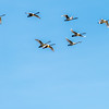Tundra Swan Squadron