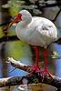 Ibis Perch