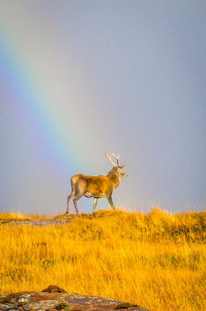 Rainbow Stag - Isle of Rum, Scotland