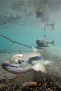 Chum Salmon spawning.