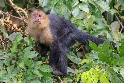 Capuchin Monkey in the Trees in Costa Rica