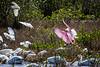 American white pelican & roseate spoonbill