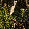 Preening Great White Heron