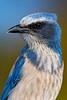 Florida Scrub Jay 1