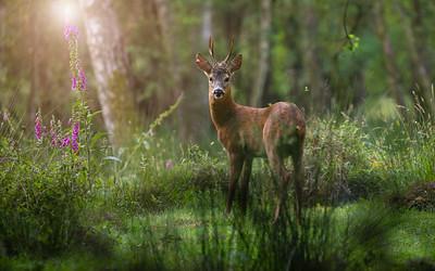 Deer0171a