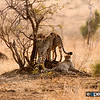 Cheetah Mother & Three Cubs