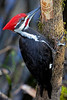 Pileated Woodpecker Close-up 2