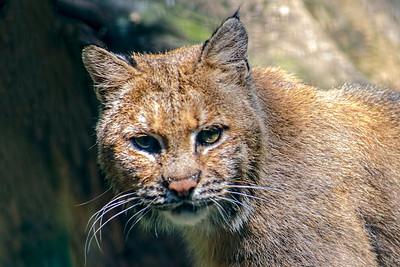 Adirondack Bobcat