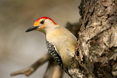 """Red-Bellied Woodpecker"""