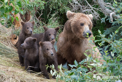 A brown bear sow and four spring cubs near Brooks Camp, Katmai National Park Alaska.