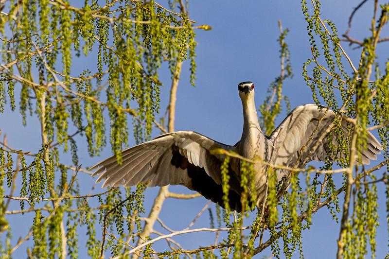 Black-crowned Night-Heron 6