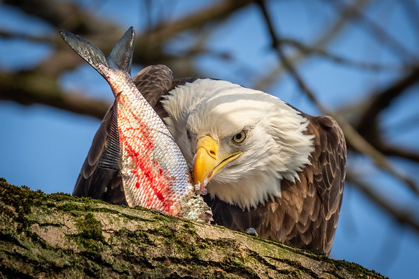 Bald Eagle devouring its fresh catch from the Susquehanna River in Darlington, Maryland.