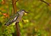 Humming Bird 9 (c)