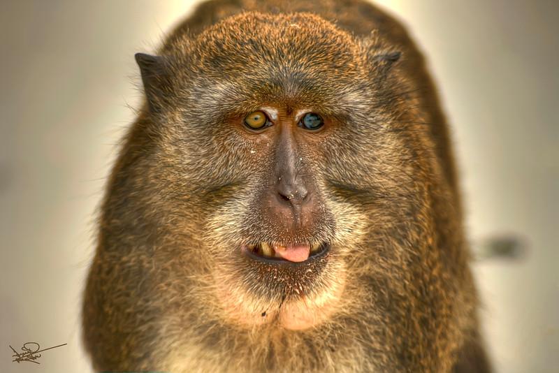 Monkey Island Monkey, Thailand