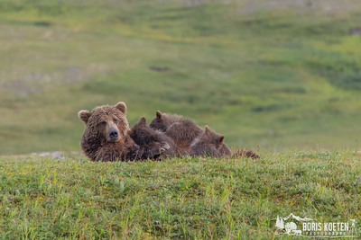 A Grizzly bear sow nursing three spring cubs, Katmai Preserve Alaska.
