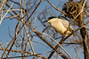 Black-crowned Night-Heron 5