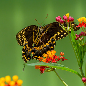 Swallowtails and Milkweed