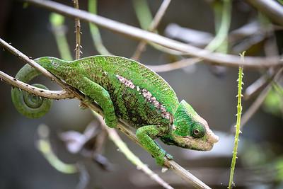 Chameleon Diagnal