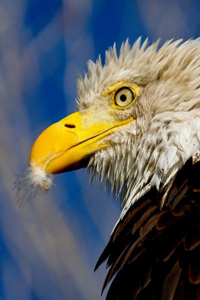 Eagle Preen