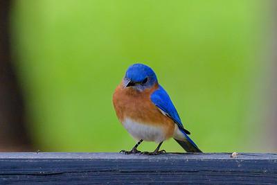 Eastern Bluebird - Montgomery, TX