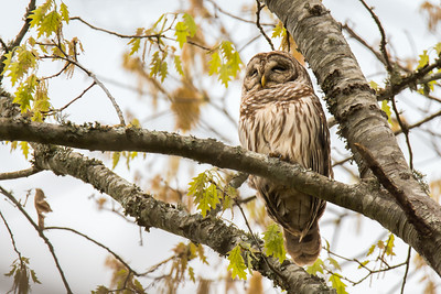 """Barred Owl"""