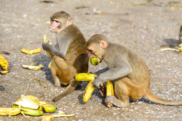 Monkeys close to Monkey Temple