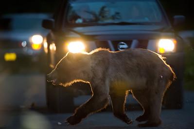 Grizzly Bear avoiding a car in Haines, Alaska.