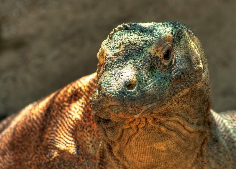 Comodo Dragon, Sydney Zoo, Australia