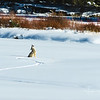 A lone coyote howls for his family in the Lamar Valley of YNP.
