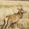 Deer with one Horn left, Glen Etive, Highlands, Scotland