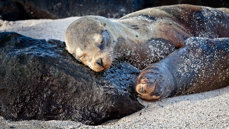 Galapagos Fur Seal and Pup