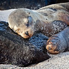 Galapagos Fur Seal and Pup