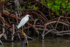 Egret Mangrove