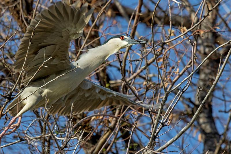Black-crowned Night-Heron Stick Duty 2