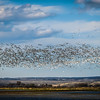 Snow Geese Rise