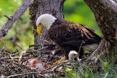 The Woodlands Bald Eagles - 2021