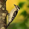 """Downy Woodpecker"""
