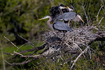 Great Blue Heron Family 1