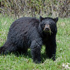 A young black bear in Banff,<br /> Banff National Park, Canada