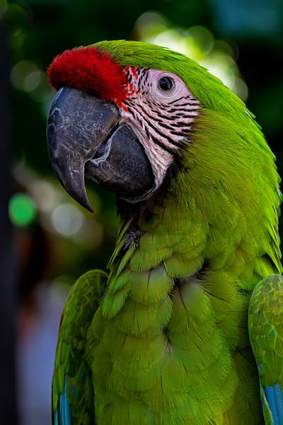 Buffons Macaw
