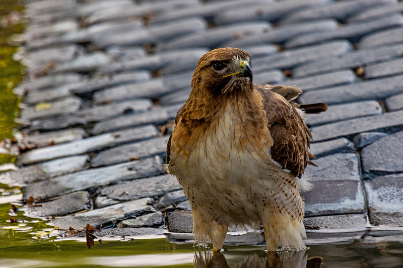 Redtail Hawk Walk 1