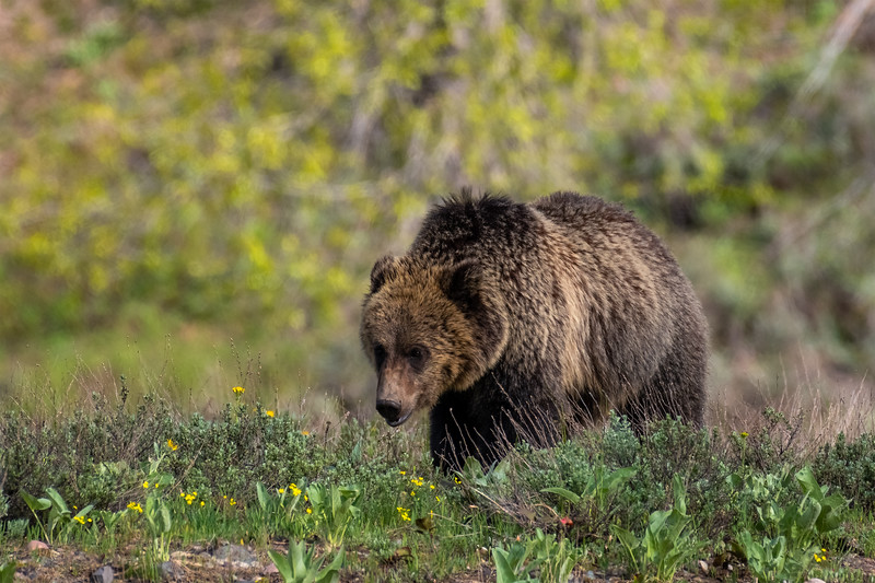 "A young Grizzly Bear forages for food in a meadow near Pilgrim Creek in Grand Teton National Park just days after getting ""kicked out"" by Mamma bear."