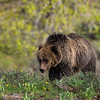 """A young Grizzly Bear forages for food in a meadow near Pilgrim Creek in Grand Teton National Park just days after getting """"kicked out"""" by Mamma bear."""