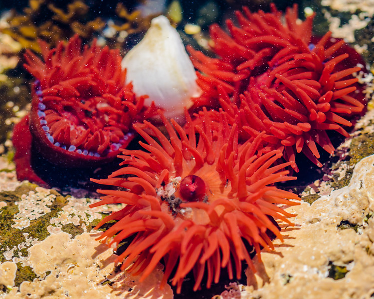 Group of Red Anemones