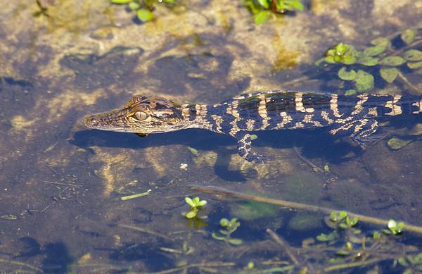 Baby Gator, Everglades National Park, South Florida