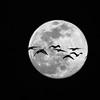 A flock of snow geese transit the near full moon near Washingtonville, Pennsylvania.