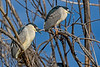 Black-crowned Night-Heron Pair