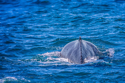 Humpback Whale - Before the Dive