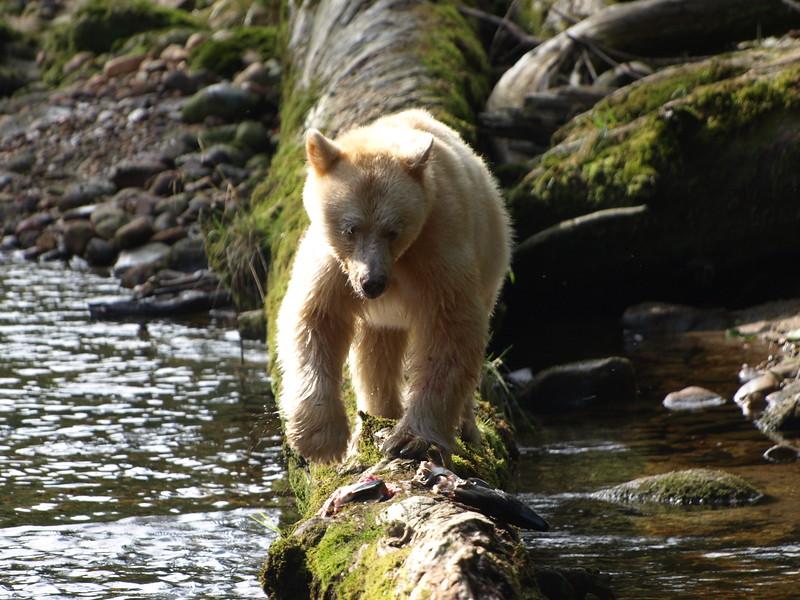 Great Bear Rainforest, BC
