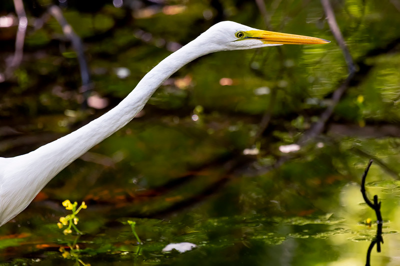 Great Egret Out Fishing 2